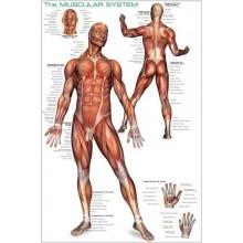 Žmogaus raumenų sistema