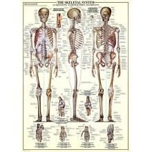 Žmogaus skeleto sistema