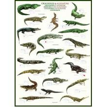 Krokodilai ir Aligatoriai